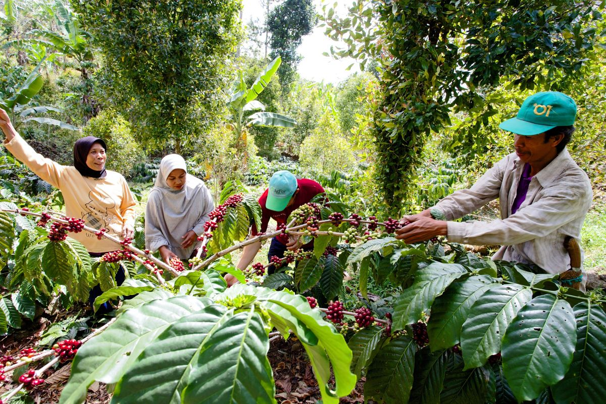 Akar Tani Cooperative works with farmers in Bantaeng District, South Sulawesi, to harvest and sell high quality coffee using agroforestry models.